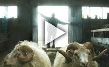 Bande-annonce du film Rams