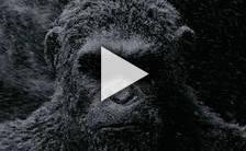 Bande-annonce du film La Planète des Singes - Suprématie